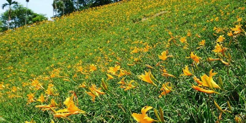 倘佯在金色浪花中,沐心泉休閒農場˙金針花。
