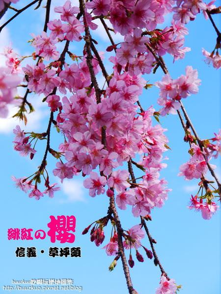 緋紅の櫻。草坪頭[2013櫻花季期間01/16~02/17車輛管制重點]