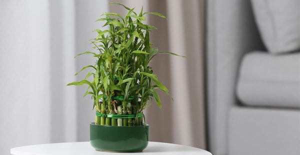 potted-lucky-bamboo