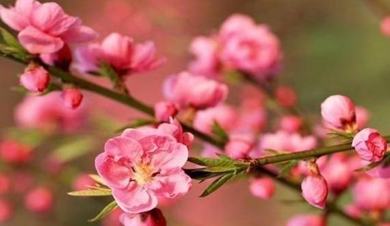 feng-shui-peach-blossom