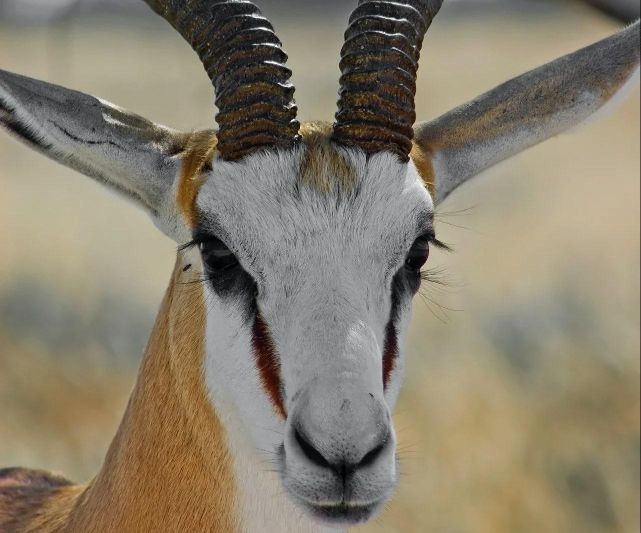 krugerrands springbok