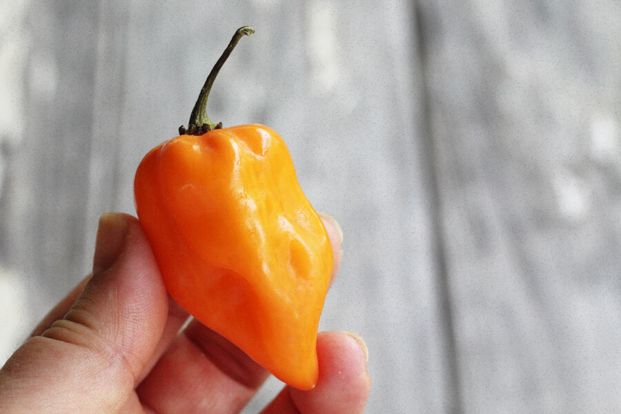a close up image of a bright habanero pepper