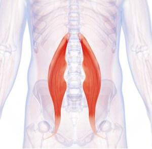 Hip Flexors Muscle