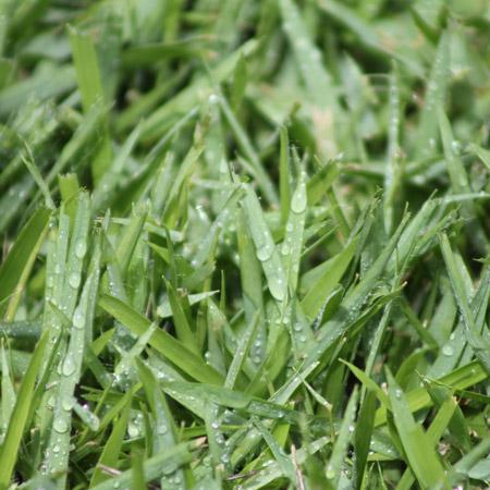 Platinum Zoysia Grass Close Up