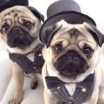 Choosing a Pug Puppy For Sale – How to Choose the Right Pug Puppy
