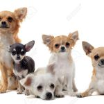 How To Choose The Right Chihuahua Puppy