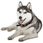 Husky Puppies: How To Locate Siberian Husky Puppies For Sale