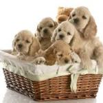Searching For Australian Labradoodle Puppies For Sale