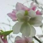 塩害で秋に季節外れの桜が開花!?秋桜(コスモス)じゃあない!全国で桜が開花している原因とは?2019年のお花見は葉桜なの?