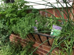 Buzymum - Our herb basket contains flat and curly parsley, chives, thyme & tarragon this year