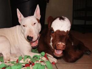 miniature-rescue-cow-dogs-moonpie-2-58d3d3b1d79e4__700