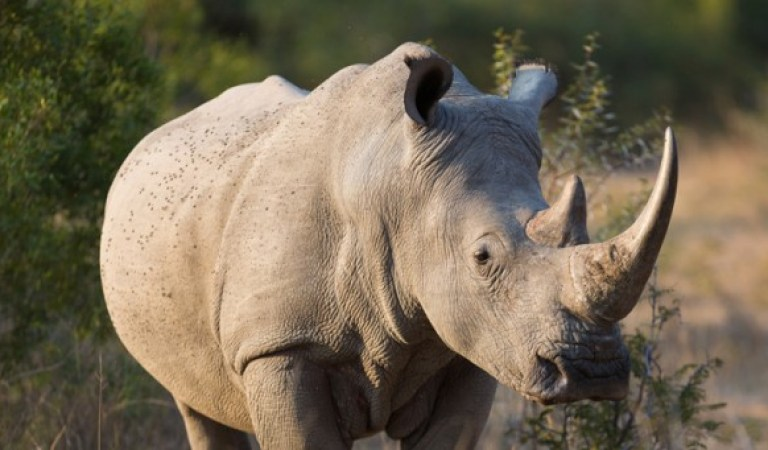 Boynuz Ticaretini Yasallaştıran Güney Afrika'da Gergedanların Soyu Tehlikede