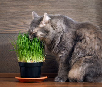 cat-eating-grass-thinkstockphotos-589540074-335