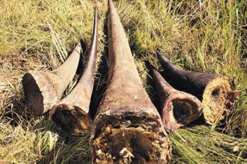rhino_horns