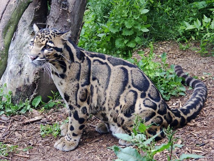 Photo Credit http://sekhmet-neseret.deviantart.com/art/Clouded-Leopard-Kitten-130211554
