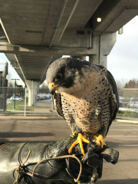 Falconry Project