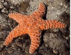 examples of Echinoderms