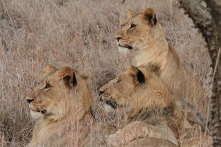 Lion Cubs at Attention
