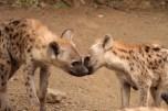 Hyena cubs giving love