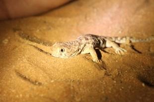 barking gecko, Namibia