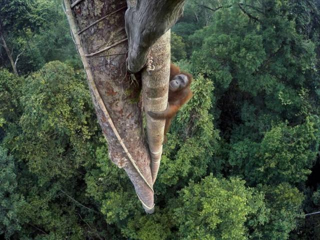 Orangutanlar GoPro'da Tırmanıyor, 2016 Vahşi Yaşam Fotoğrafların'dan