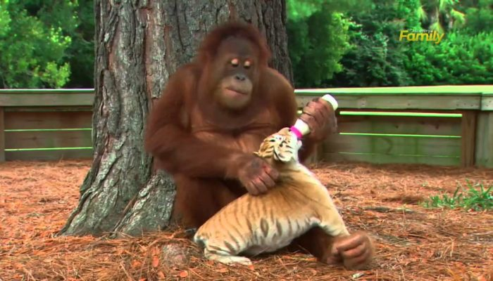 Male orangutan adopts tiger cubs