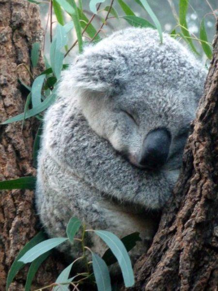 コアラが濡れると怖い2