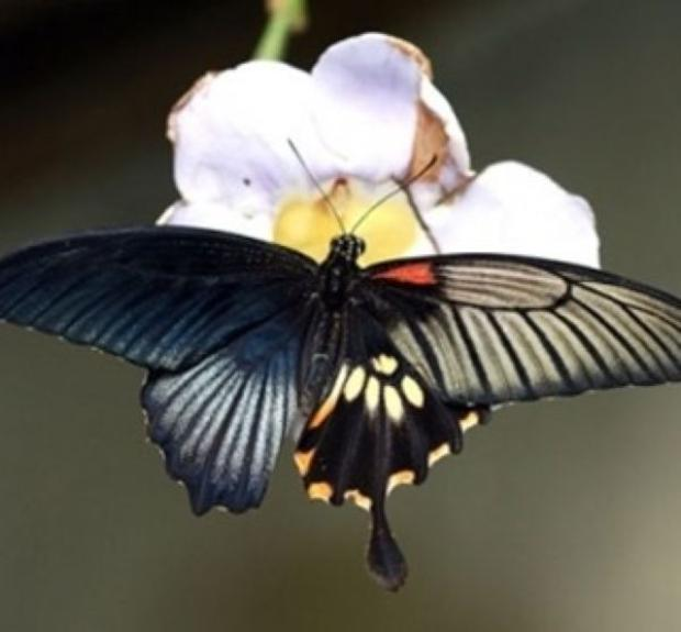 雌雄モザイク蝶 (4)