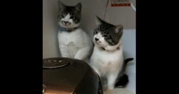 ネコのコンビが炊飯器と戦う