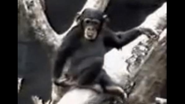 チンパンジーの10秒で笑える動画