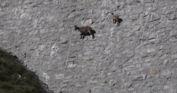 切り立った崖を進むヤギ