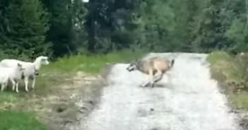 ひつじとオオカミ