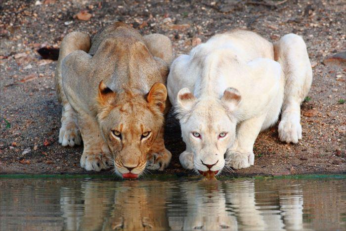 albino-animals-3-5__880_R