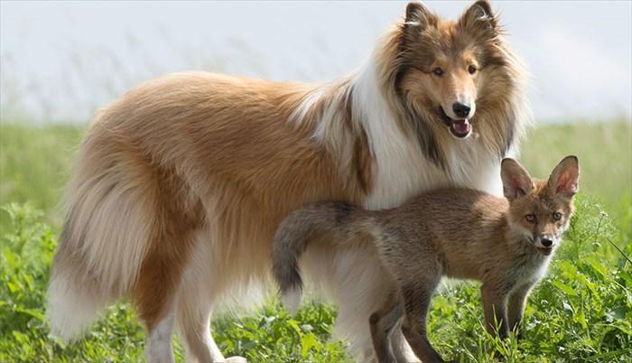 orphaned-fox-cub-adopted-dog-ziva-dinozzo-germany-2_R