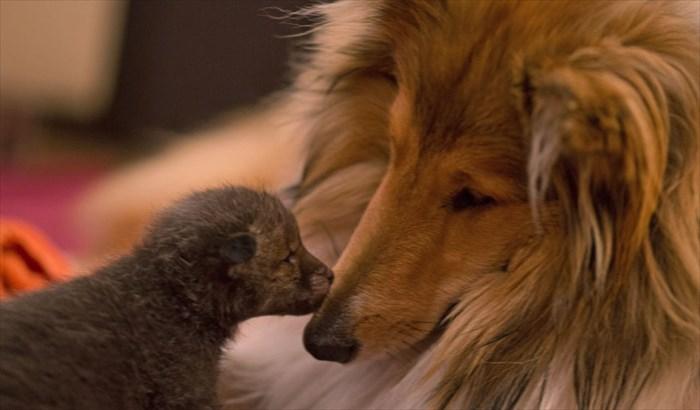orphaned-fox-cub-adopted-dog-ziva-dinozzo-germany-4_R