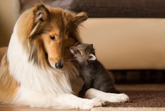 orphaned-fox-cub-adopted-dog-ziva-dinozzo-germany-5_R
