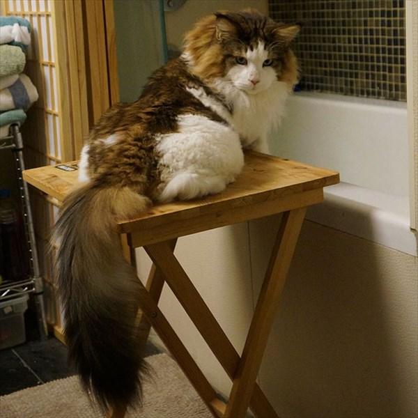 largest-cat-nyc-samson-jonathan-zurbel-6_R
