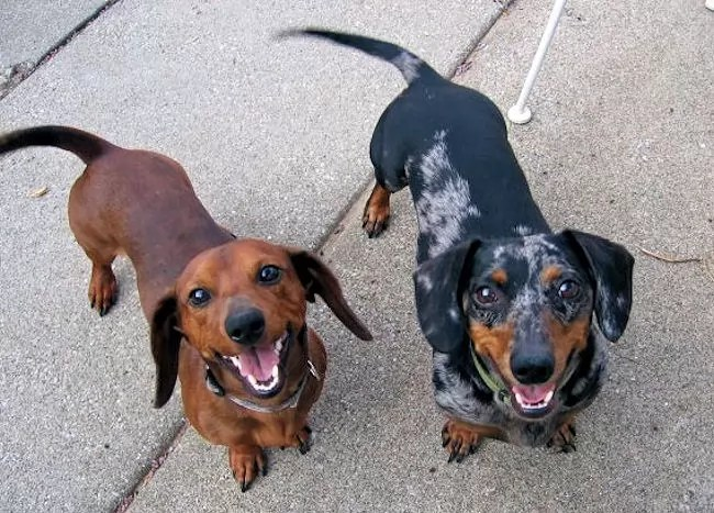 What The Books Didnt Tell You About Dachshunds