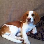 10 Best Beagle Dog Names