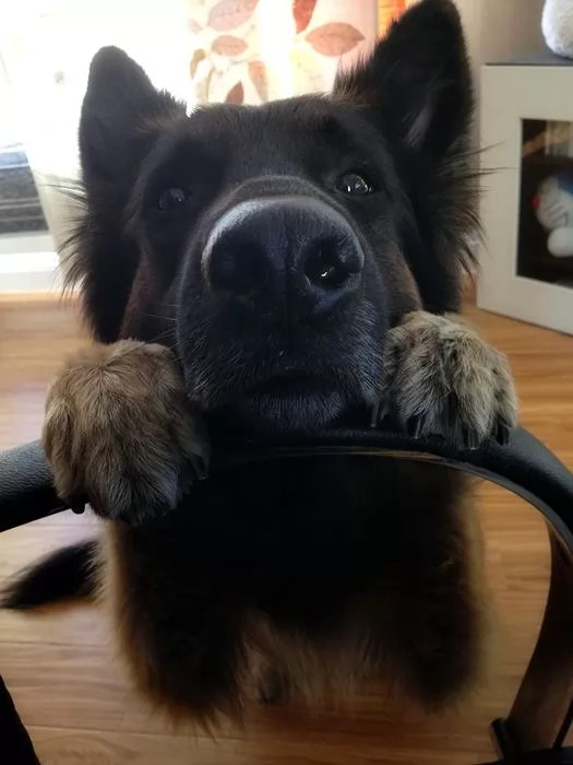 16 Reasons German Shepherds Are Not The Friendly Dogs