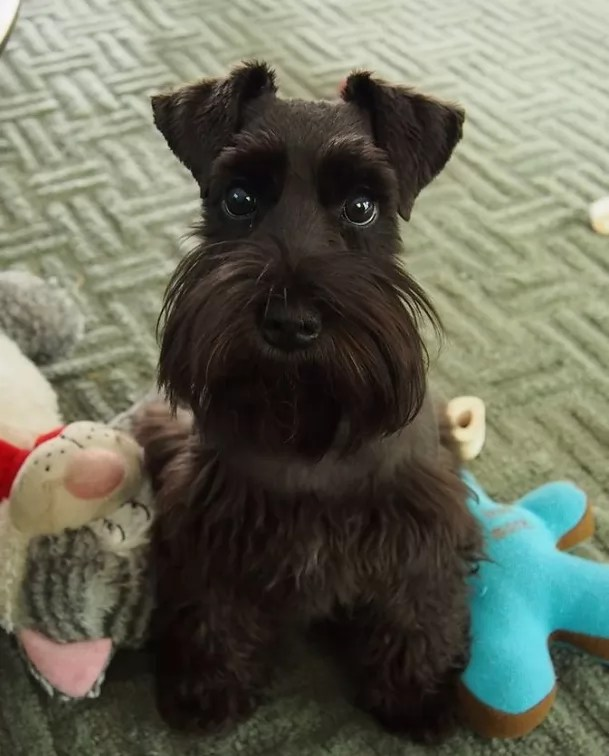 16 Reasons Schnauzers Are Not The Friendly Dogs Everyone