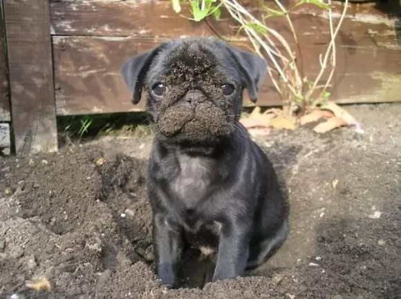 dirty pug face photo
