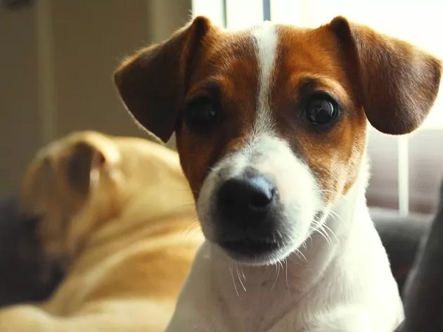 10 Best Jack Russell Dog Names