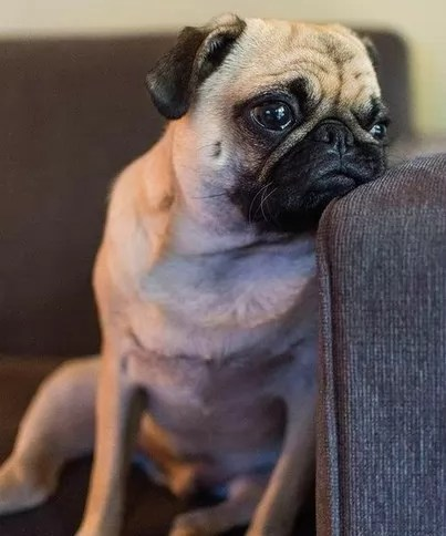 thinking pug sofa funny