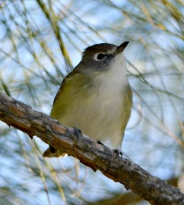 Blue-headed Vireo —M. Stratton
