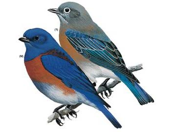 western-bluebird-illustration