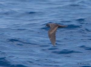 Black Storm-Petrel ©Tom Blackman