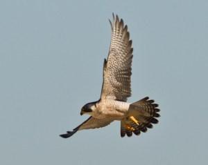 Peregrine Falcon Mission Bay 2013 11 05.CR2