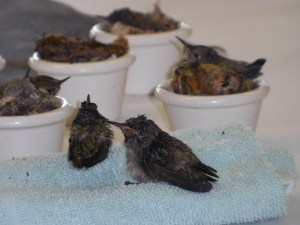 summer camp 2016 baby hummingbirds photo