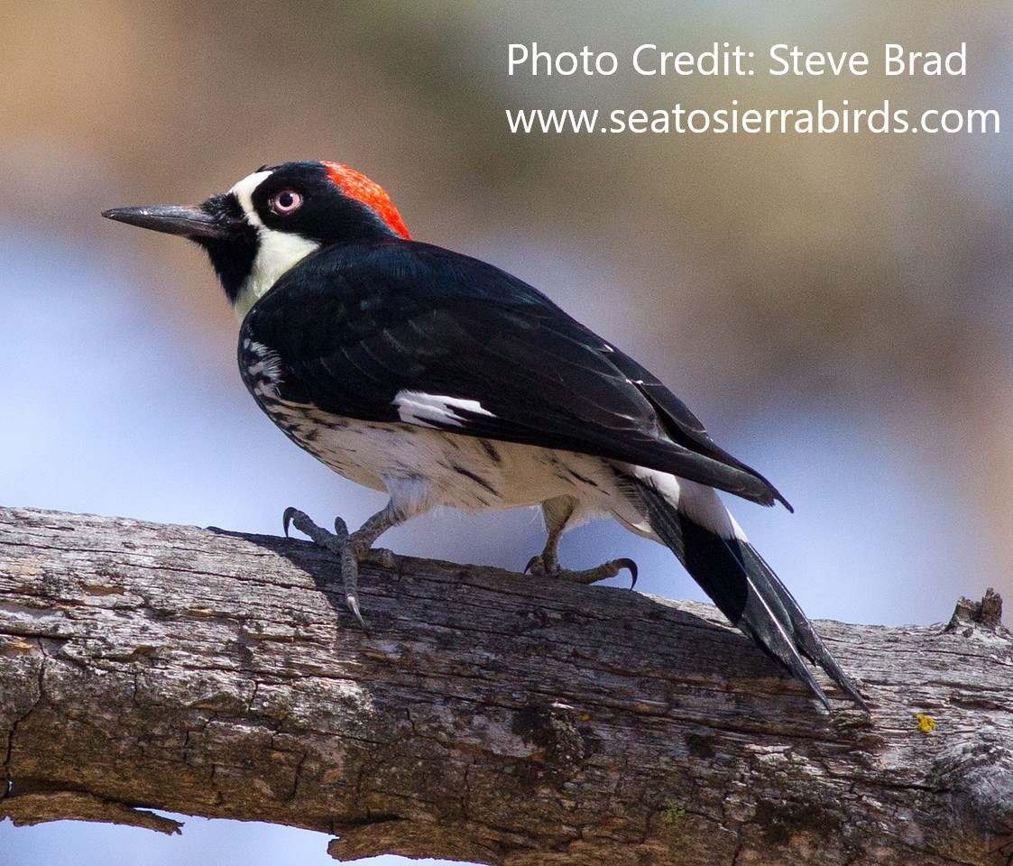 Acorn Woodpecker Cuyamuca State Park 2012 10 20 (1 of 1)-X2